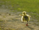 baby steps duck